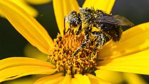 serbuk sari pada lebah