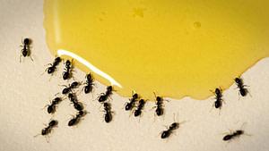 madu dikerubungi semut, mitos atau fakta?