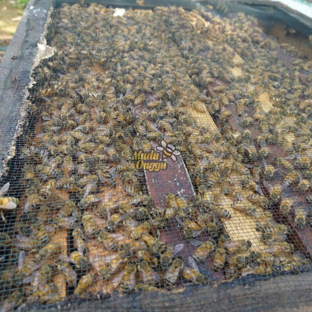 proses pemanenan mellifera raw honey