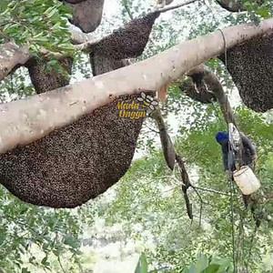 proses pemanenan dorsata wild forest di kawasan pedalaman hutan