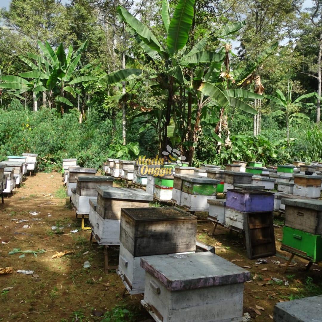 proses pemanenan mellifera di pasuruan
