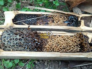 Proses pemanenan trigona raw honey di kawasan hutan dan perkebunan Jawa Timur yang berada di daerah Pasuruan
